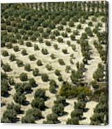 Rows Of Olive Trees Growing In The Village Of Baena Canvas Print