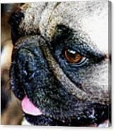 Roxy The Pug Canvas Print