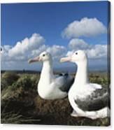 Royal Albatrosses Nesting Canvas Print
