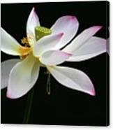 Royal Lotus Canvas Print