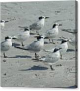 Royal Terns #3 Canvas Print
