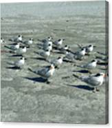 Royal Terns #4 Canvas Print