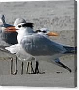 Royal Terns And Gulls Canvas Print
