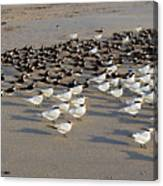 Royal Terns At Sebastian Inlet In Florida Canvas Print