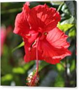Ruby Red Hibiscus Flower in Bloom Canvas Print