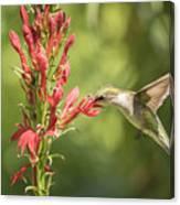 Ruby Throated Hummingbird 2-2015 Canvas Print