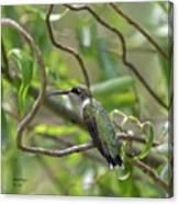 Ruby-throated Hummingbird - Female Canvas Print