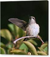 Ruby-throated Hummingbird - Juvenile Canvas Print