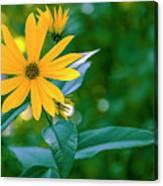 Rudbeckia Flowers In Bloom Canvas Print