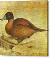Ruddy Duck Canvas Print