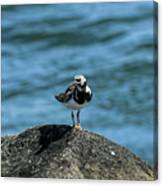 Ruddy Turnstone 2 Canvas Print