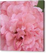 Ruffled Pink Rose Canvas Print