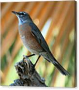 Rufous-backed Robin Canvas Print