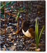 Rufous Sided Towhee At A Glance Canvas Print