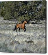 Running Bachelor Stallion Canvas Print