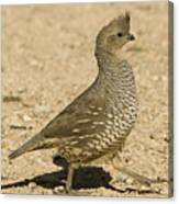Running Quail Canvas Print