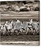 Running Zebras, Serengeti National Canvas Print