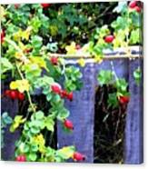 Rustic Fence And Wild Rosehips Canvas Print