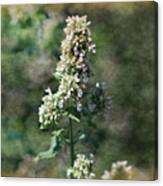 Rustic Weathered Calliste Green Wild Mint  Canvas Print