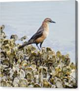 Rusty Blackbird #6 Canvas Print