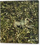 Rusty Crayfish At Night Canvas Print