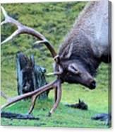 Rutting Bull Elk Canvas Print