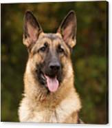 Sable German Shepherd Canvas Print