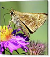Sachem Skipper Canvas Print