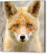 Sad Eyed Fox Of The Lowlands - Red Fox Portrait Canvas Print