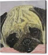 Snugly  Pug Canvas Print