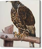 Safari Hawk Canvas Print
