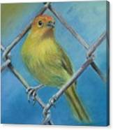 Safron Finch Canvas Print