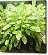 Sage Plant Canvas Print