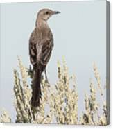 Sage Thrasher On Perch Canvas Print