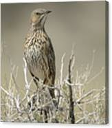 Sage Thrasher Canvas Print