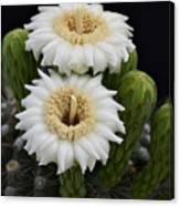 Saguaro Blooms II Canvas Print
