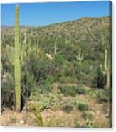 Saguaro Cacti Tucson Az Canvas Print