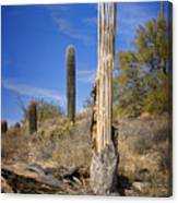 Saguaro Cactus Skeleton Canvas Print