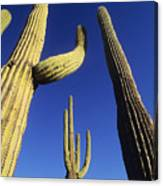 Saguaros Dwaft One Another Canvas Print