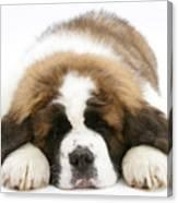 Saint Bernard Puppy Sleeping Canvas Print