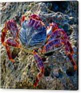 Sally Lightfoot Crab 1 Canvas Print