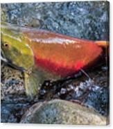 Salmon Spawning Canvas Print