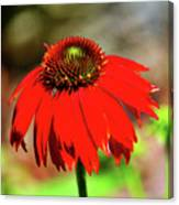 Salsa Red Coneflower Canvas Print