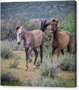 Salt River Wild Horses-img_747217 Canvas Print