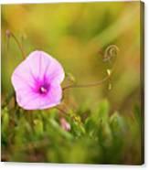 Saltmarsh Morning Glory Flower  Canvas Print