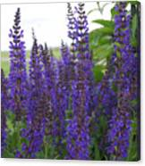 Salvia In The Spring Canvas Print