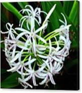 Samoan Spider Lily Canvas Print