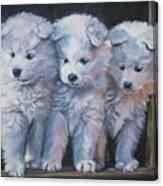 Samoyed Pups Canvas Print