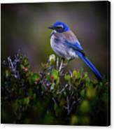 San Diego Bluebird Canvas Print
