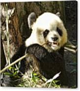San Diego Panda Canvas Print